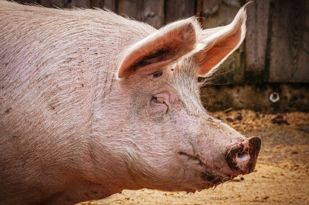 nye regler om slagtning af dyr