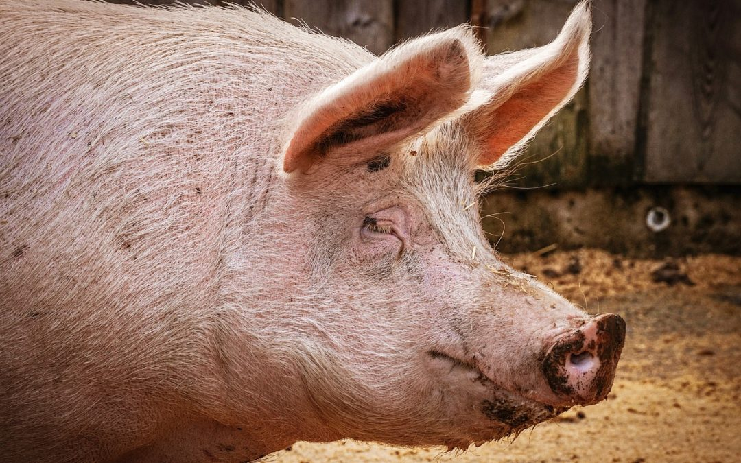 Nye regler om slagtning af dyr på gårde