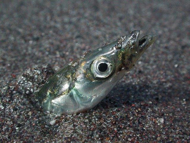 Flertal i Folketinget forhøjer kvoterne for tobis-fiskeri
